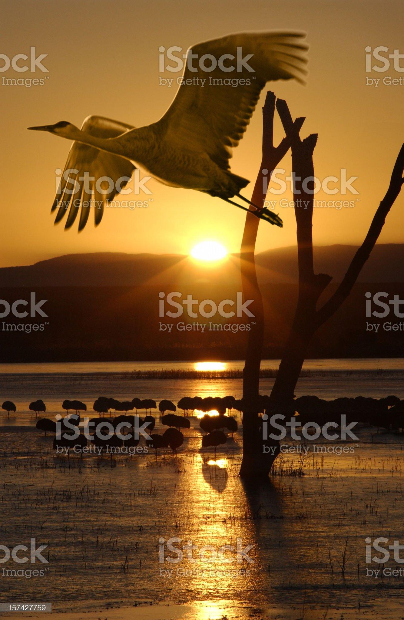 Sandhill Crane in Flight royalty-free stock photo
