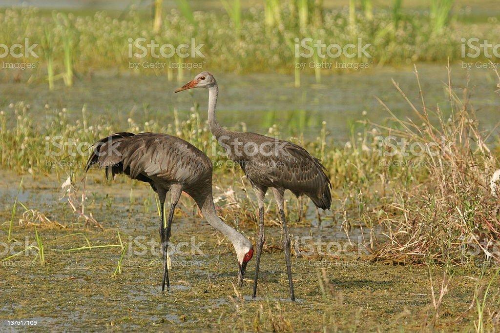 Sandhill Crane parent and juvenile feeding in pond stock photo