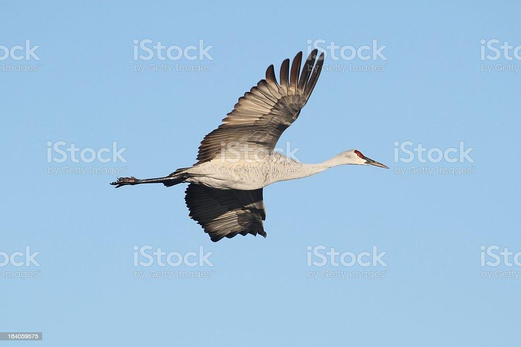 Sandhill Crane  (Grus canadensis) royalty-free stock photo