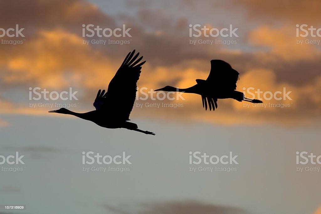 Sandhill Crane silhouettes in flight royalty-free stock photo