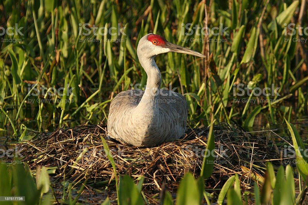 Sandhill Crane sitting on nest stock photo