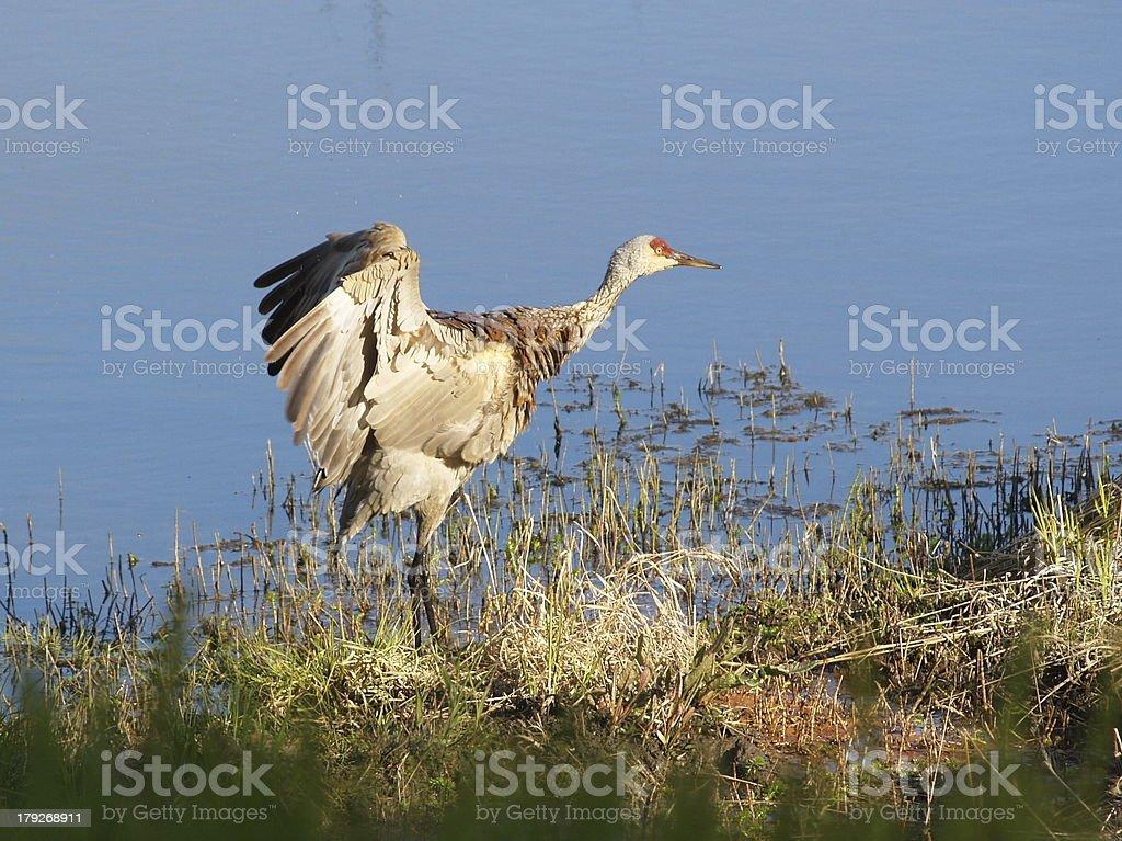 Sandhill Crane Stretching Wings stock photo