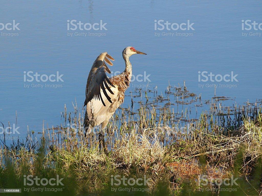 Sandhill Crane Sunning stock photo