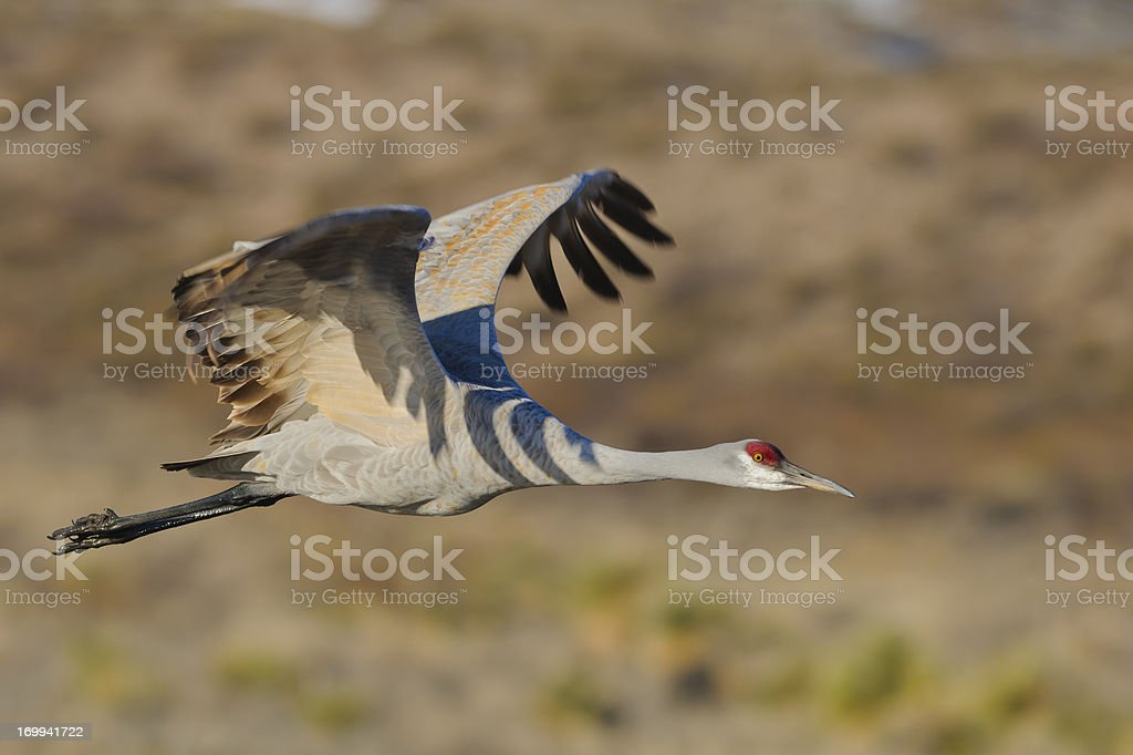 Sandhill Crane (Grus Canadensis) Taking off From a Marsh royalty-free stock photo