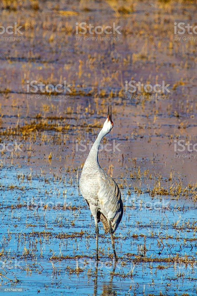 Sandhill Crane trumpeting stock photo