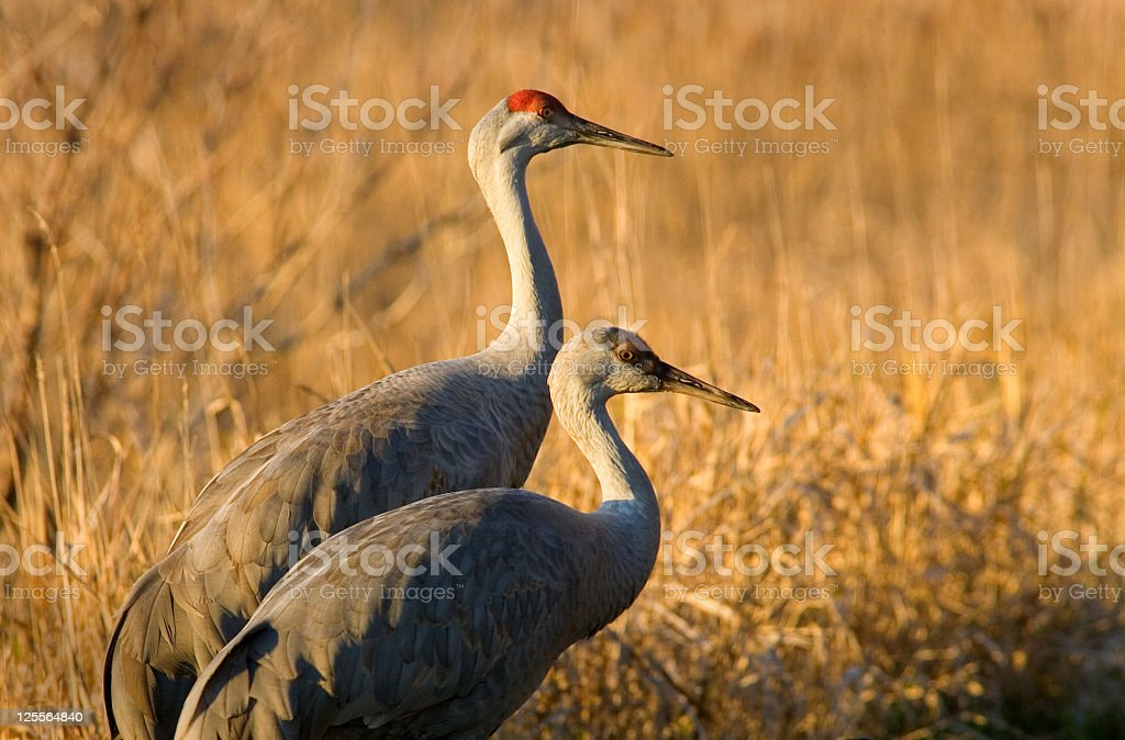 Sandhill Crane with Chick in Golden Light stock photo