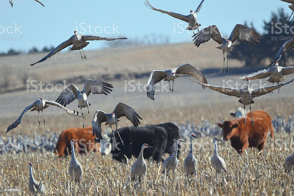 Sandhill Cranes and Cattle stock photo