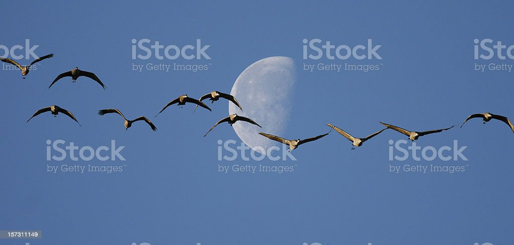 Sandhill Cranes and Half Moon stock photo