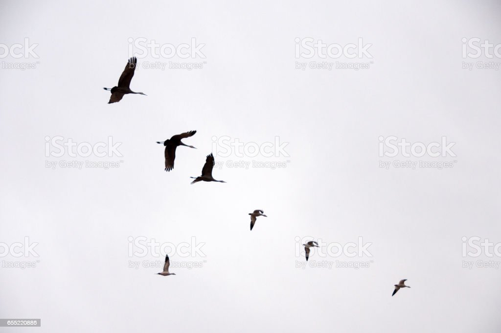 Sandhill Cranes and Snow Geese at Bosque del Apache stock photo