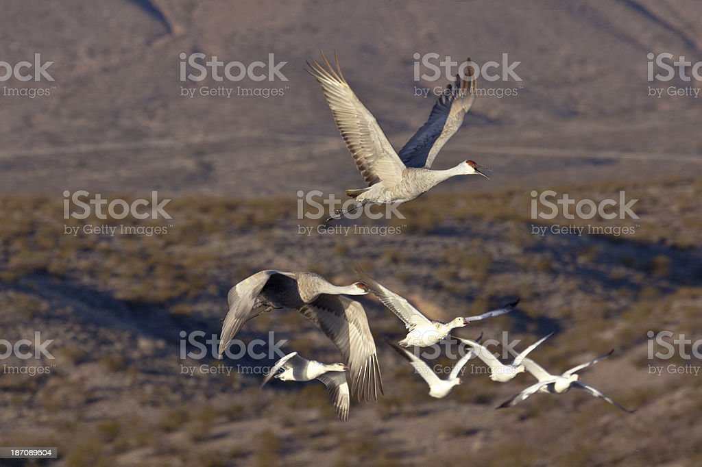 Sandhill Cranes and Snow Geese flying royalty-free stock photo