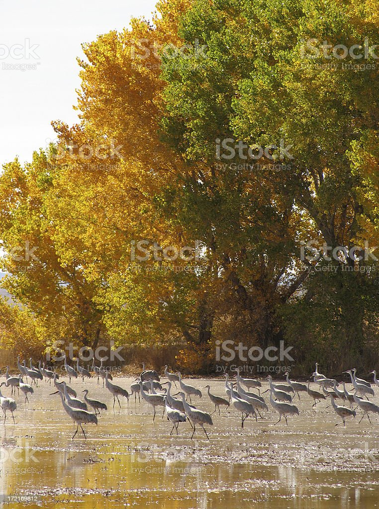 Sandhill Cranes and Wetlands stock photo