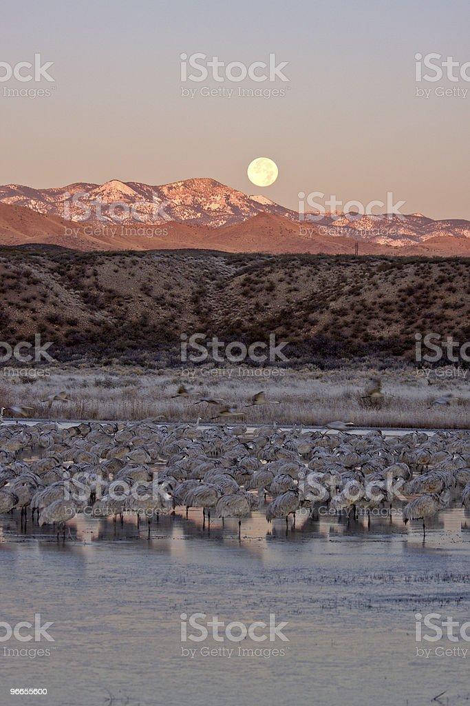 Sandhill Cranes at dawn stock photo