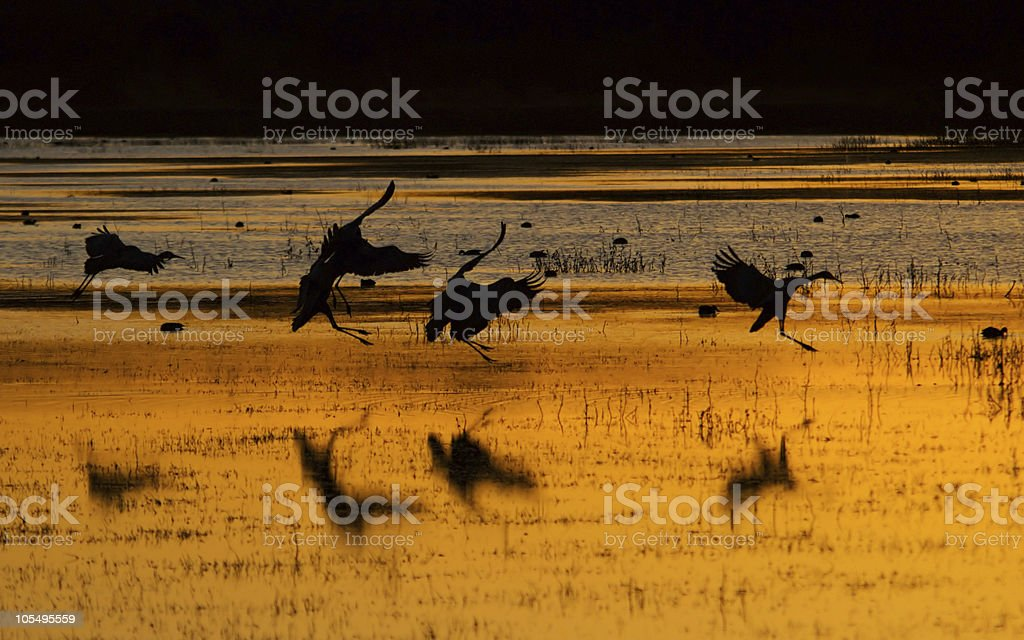 Sandhill cranes at sunset royalty-free stock photo