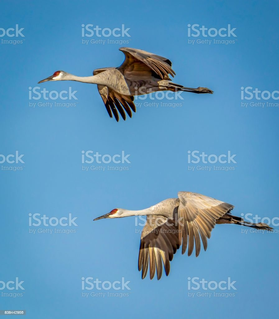 Sandhill cranes flying in formation against a blue sky background stock photo