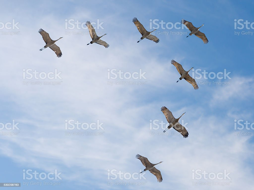 Sandhill Cranes Flying in V Formation stock photo