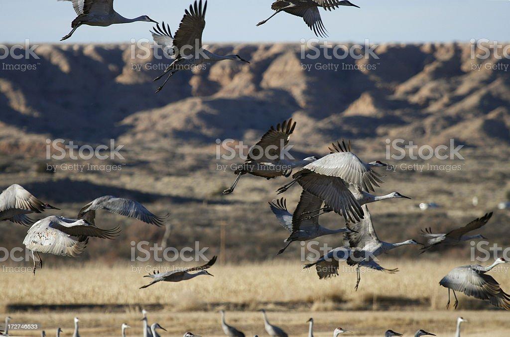Sandhill Cranes Flying stock photo