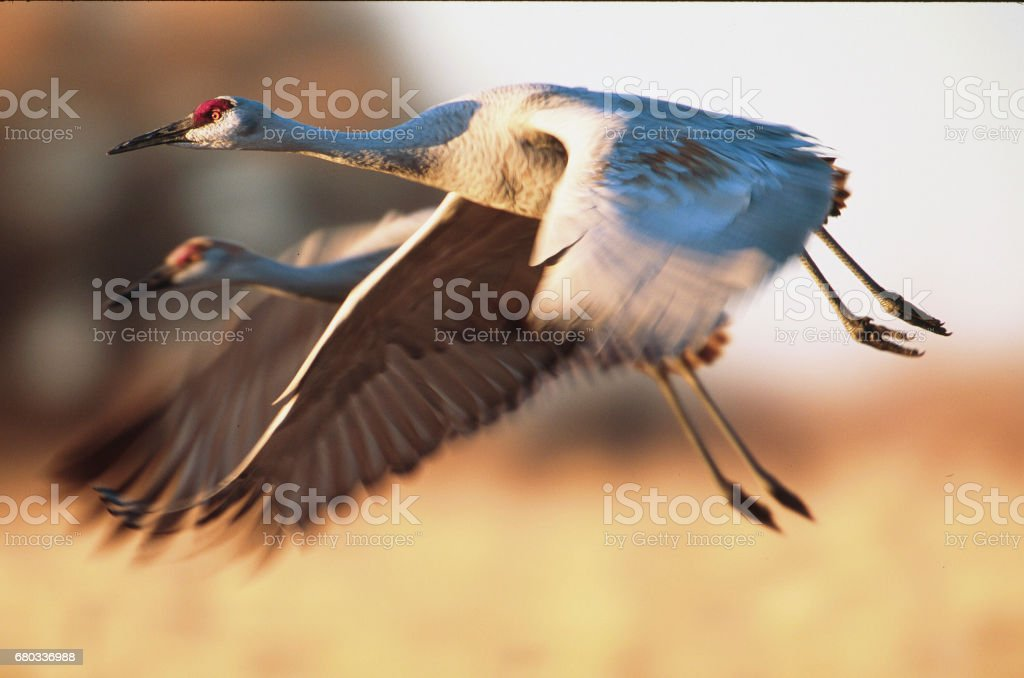 Sandhill cranes flying with blue sky and mountains in background stock photo