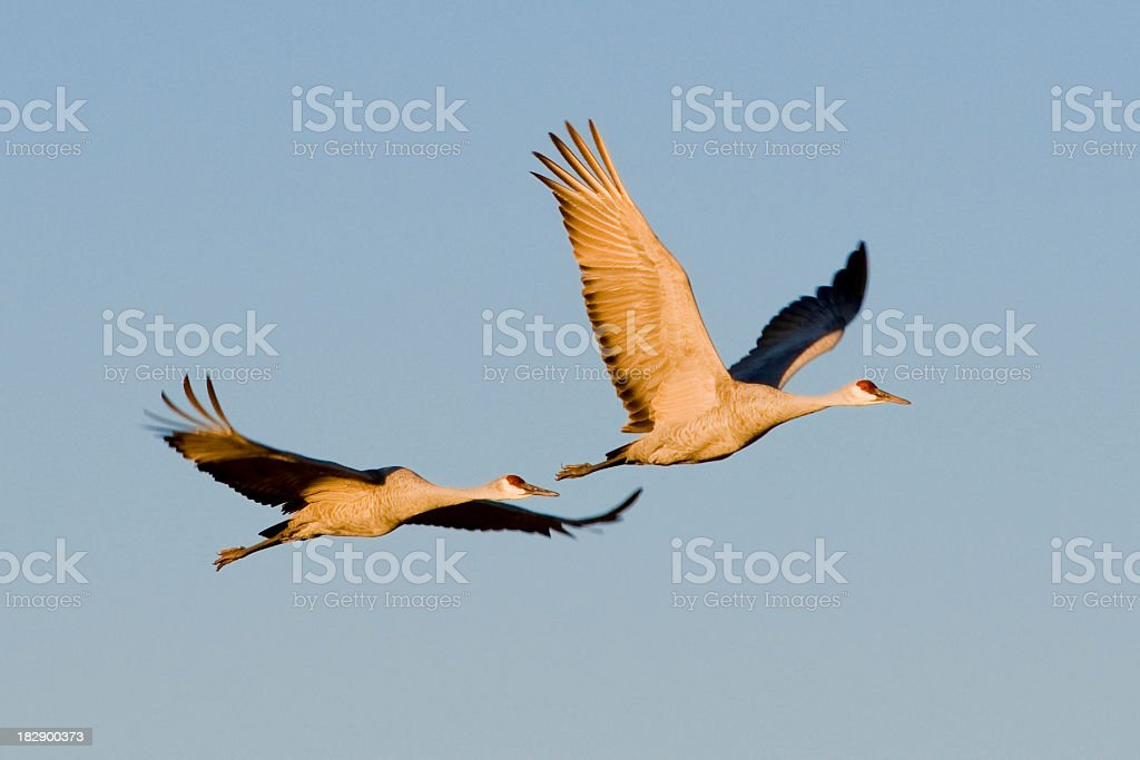 sandhill cranes, Grus canadensis, flying stock photo