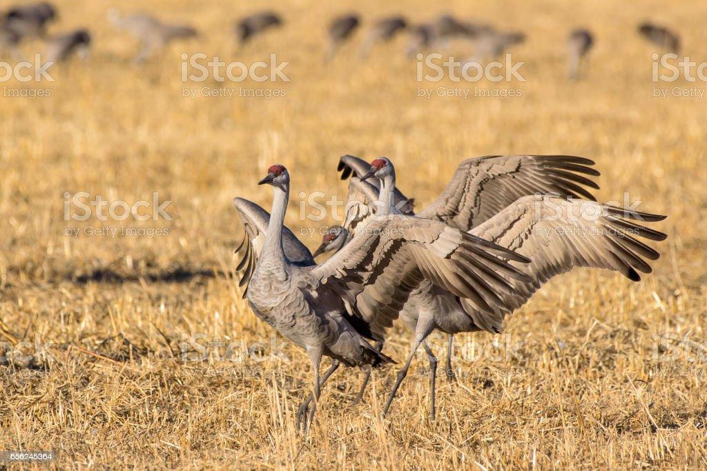 Sandhill Cranes in a Field stock photo