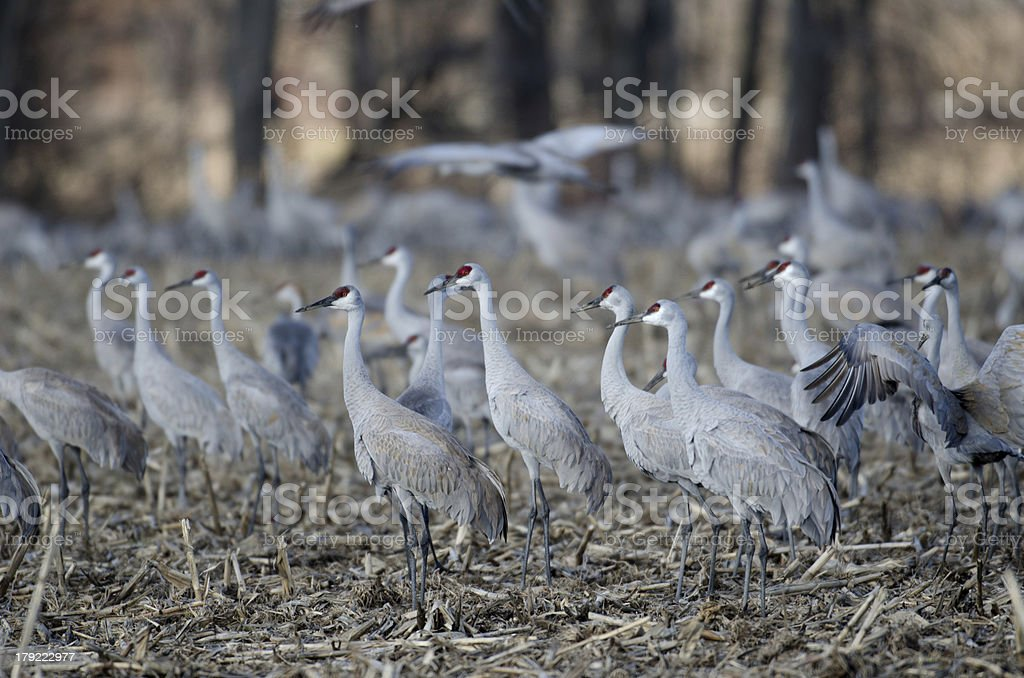 Sandhill cranes in an open field royalty-free stock photo