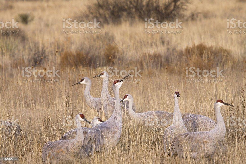 Sandhill Cranes in field stock photo
