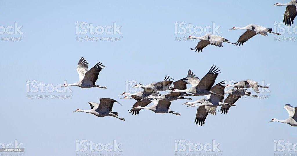 Sandhill Cranes in Flight, Arizona stock photo