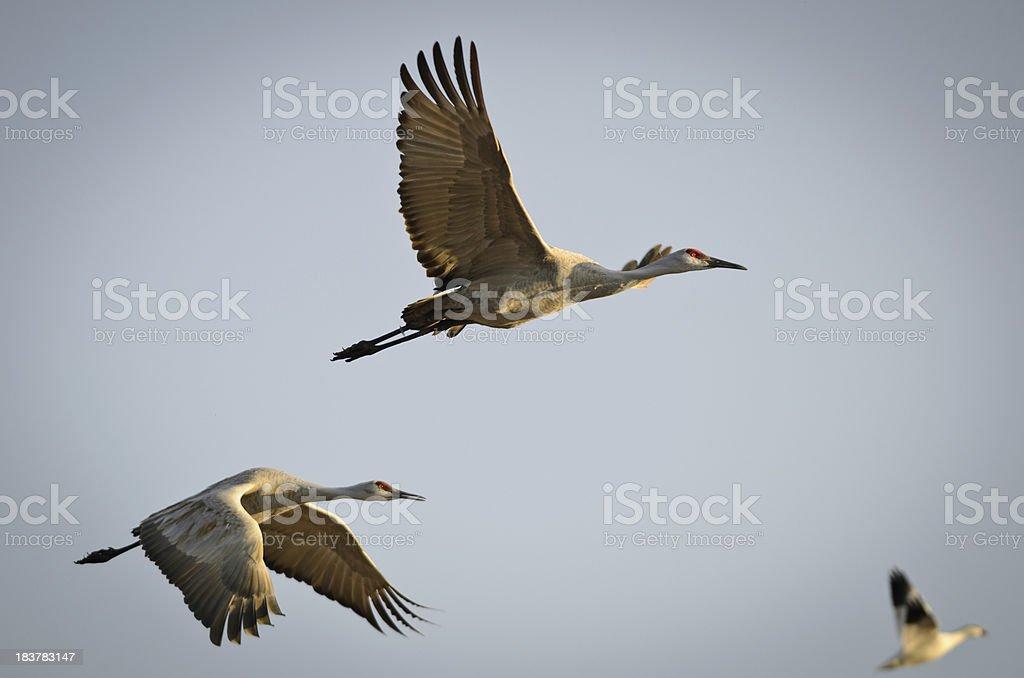 Sandhill Cranes (Grus Canadensis) in Flight royalty-free stock photo