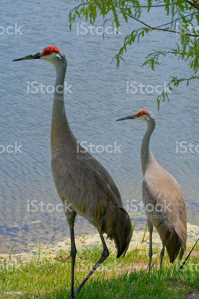 Sandhill Cranes on Waterfront royalty-free stock photo