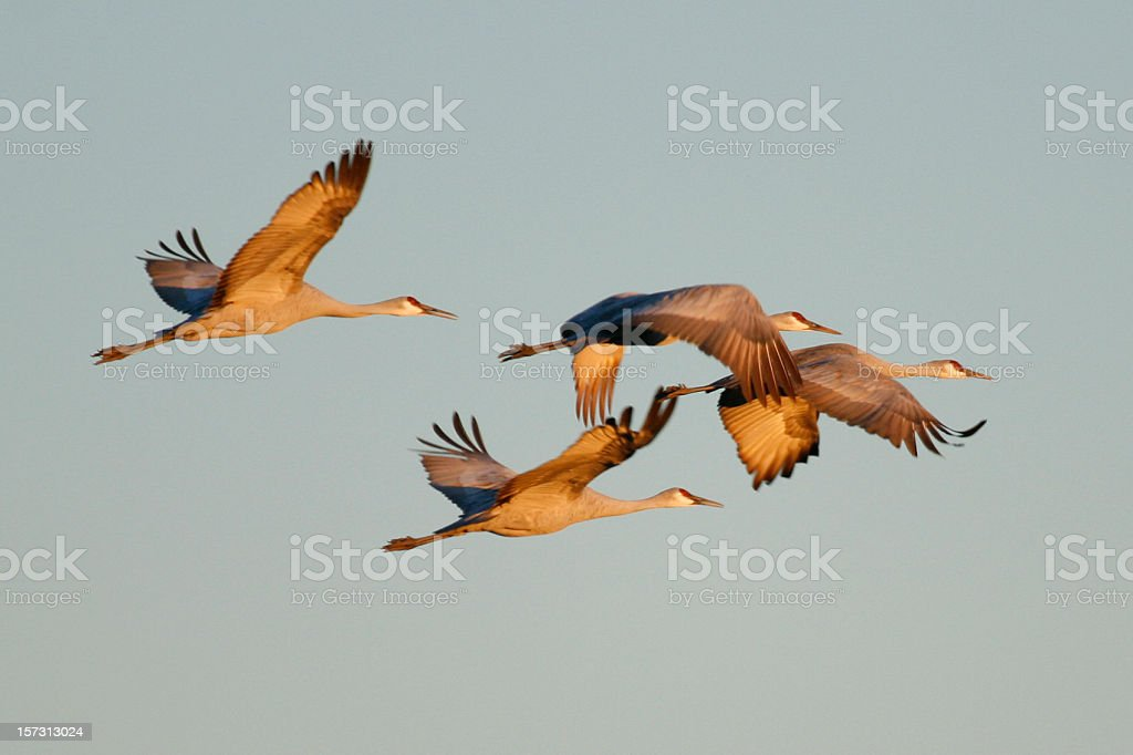 Sandhill Cranes royalty-free stock photo