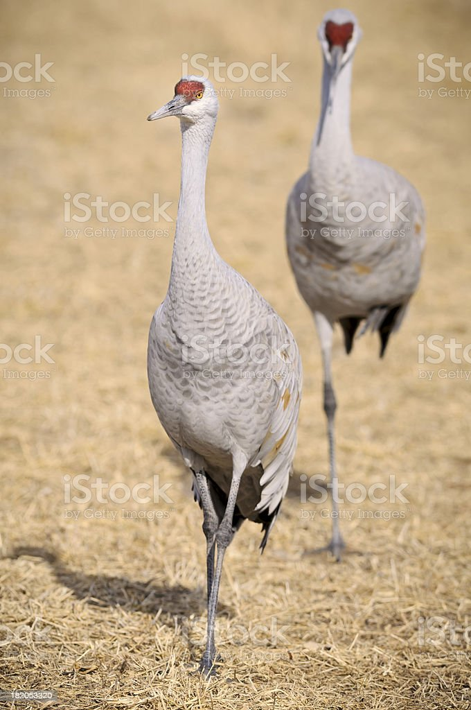 Sandhill Cranes (Grus Canadensis) Resting and Feeding royalty-free stock photo