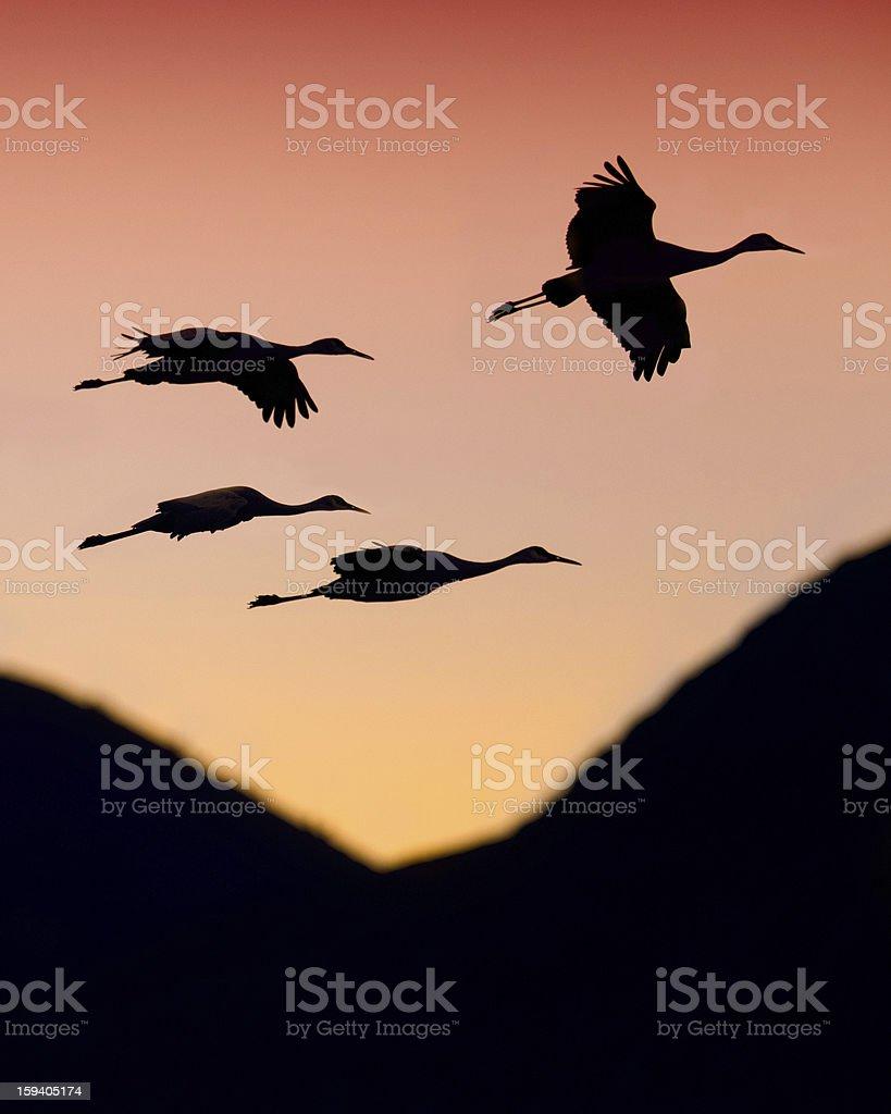 Sandhill cranes silhouette royalty-free stock photo