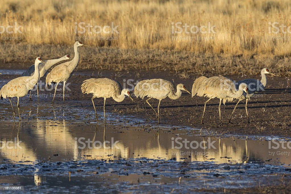 Sandhill Cranes walking out of the pond royalty-free stock photo