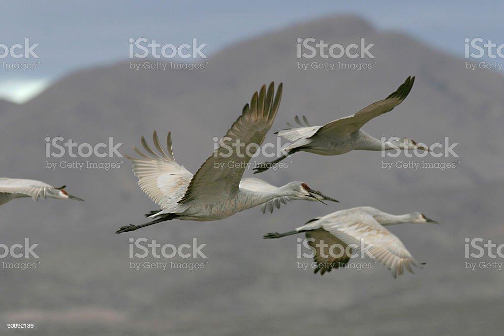 sandhills in flight royalty-free stock photo