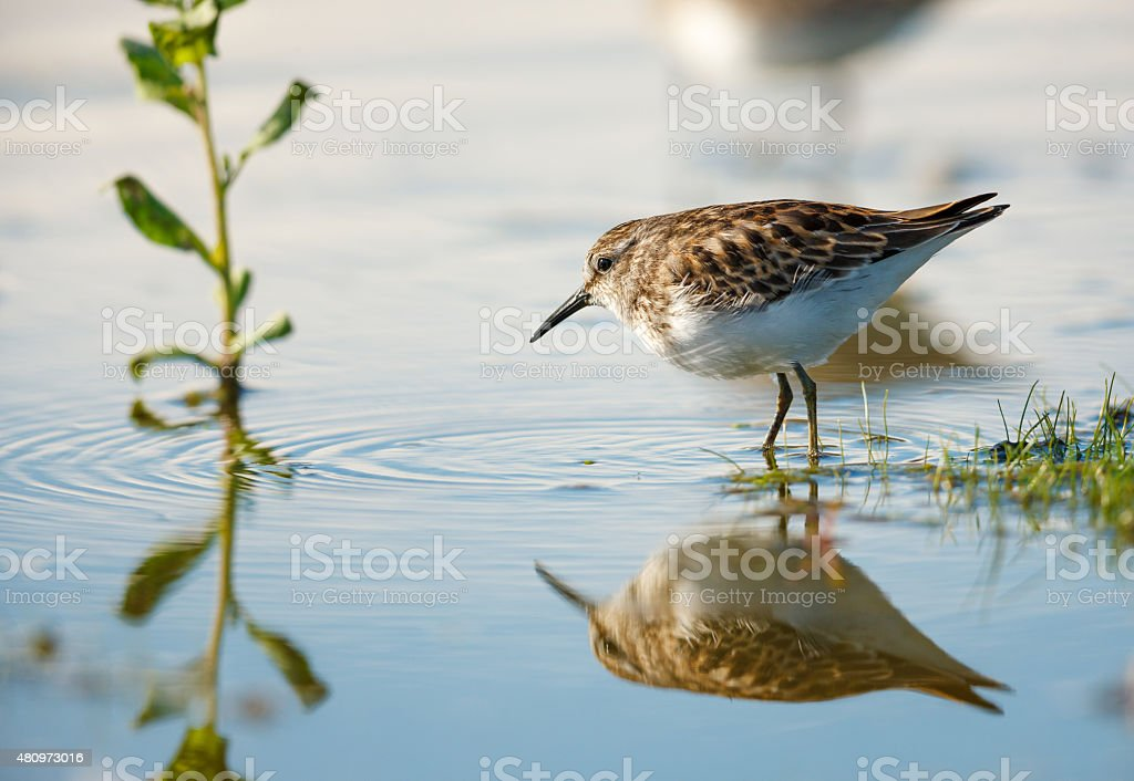 Sandpiper at water's edge, Jamaica Bay, New York stock photo