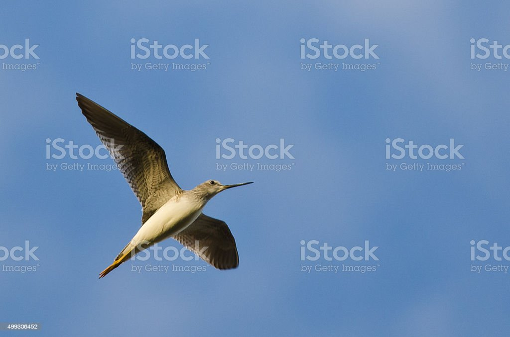 Sandpiper Flying in a Clear Blue Sky stock photo