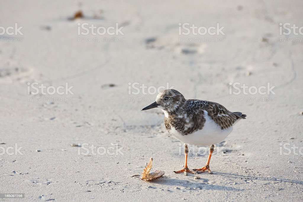 Sandpiper in Jamaica stock photo