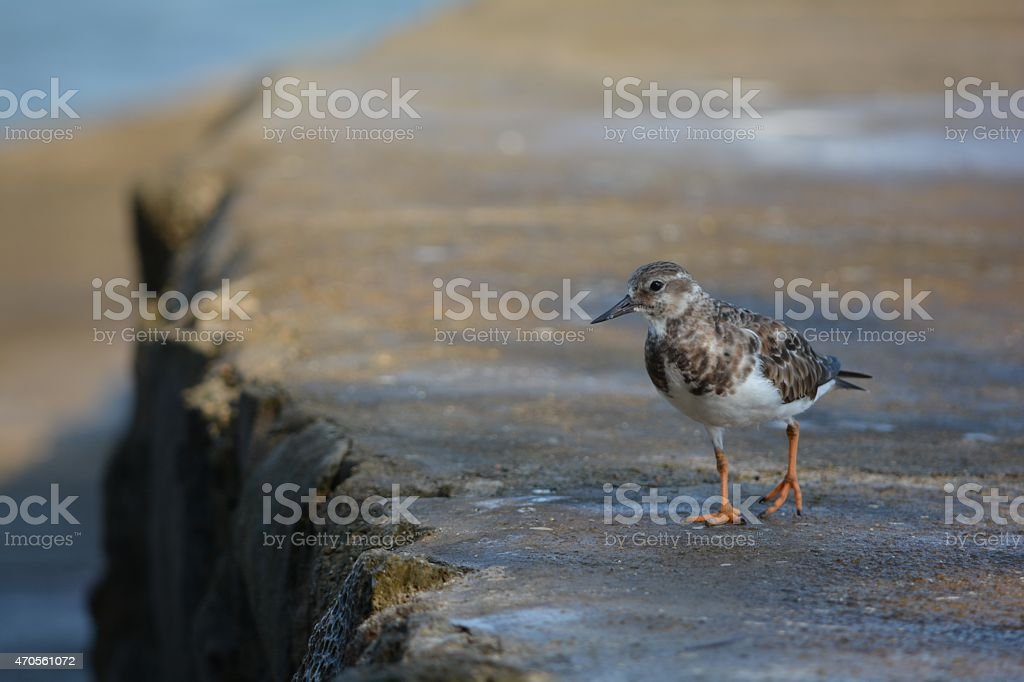 Sandpiper - Ruddy Turnstone stock photo