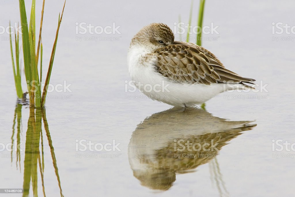 Sandpiper with Reflection royalty-free stock photo