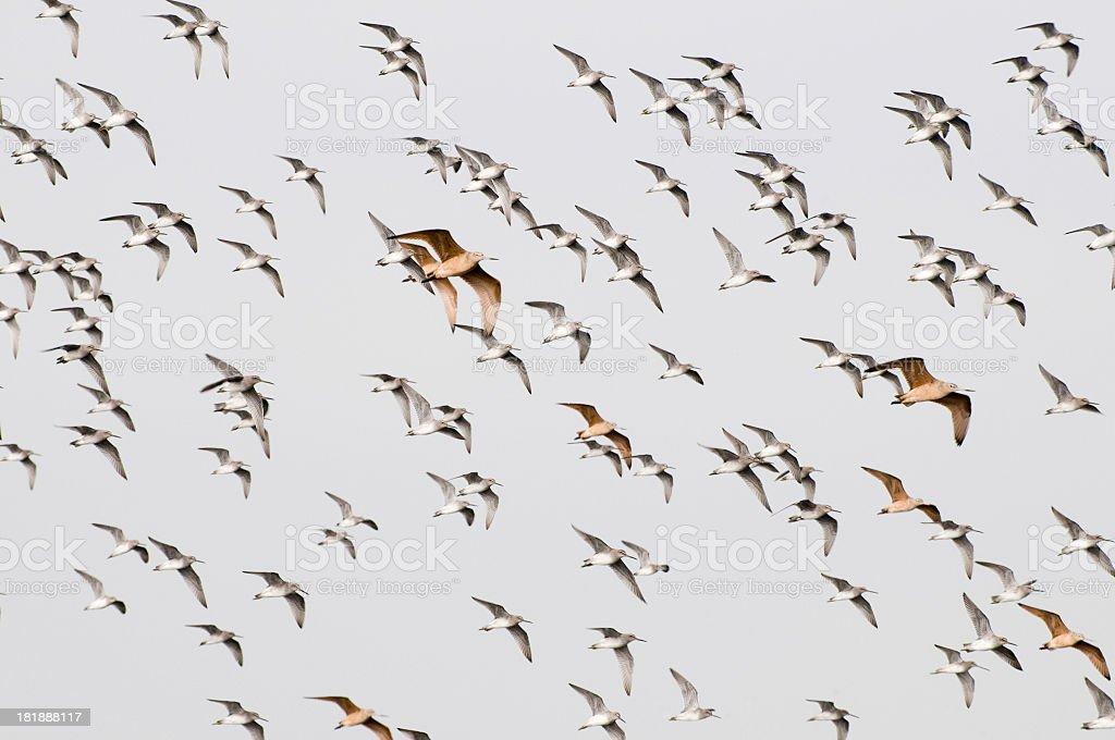 sandpipers in flight stock photo