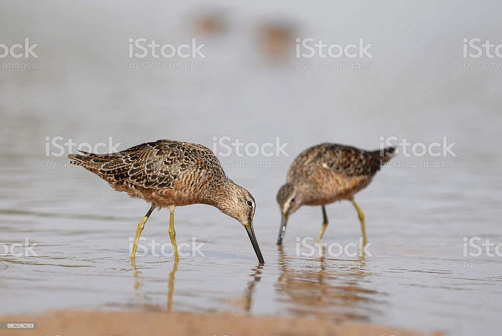 Sandpipers in Water, Eating stock photo