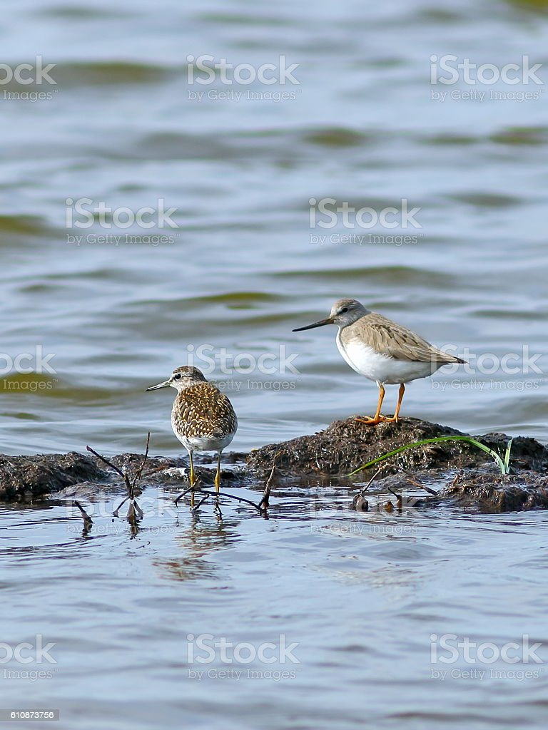 Sandpipers of different types together in the north of Siberia stock photo