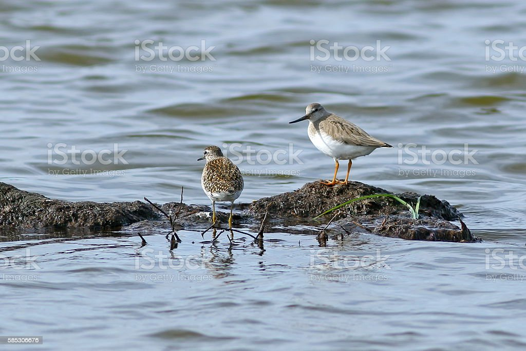 Sandpipers of different types together on Yamal stock photo