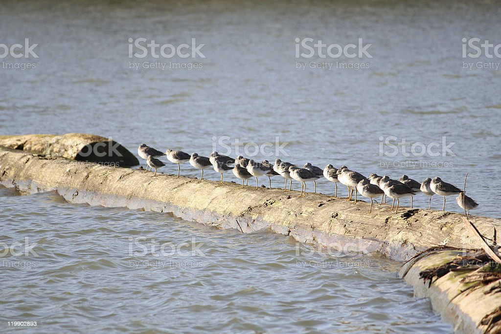 Sandpipers on Log royalty-free stock photo