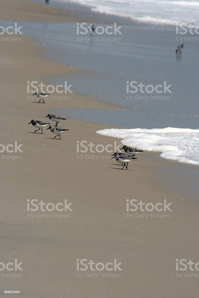 Sandpipers royalty-free stock photo