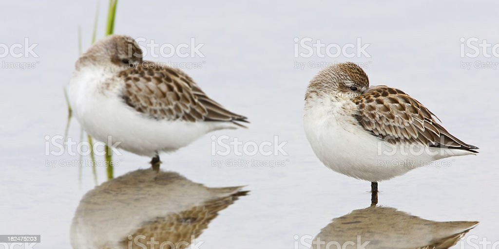 Sandpipers resting stock photo