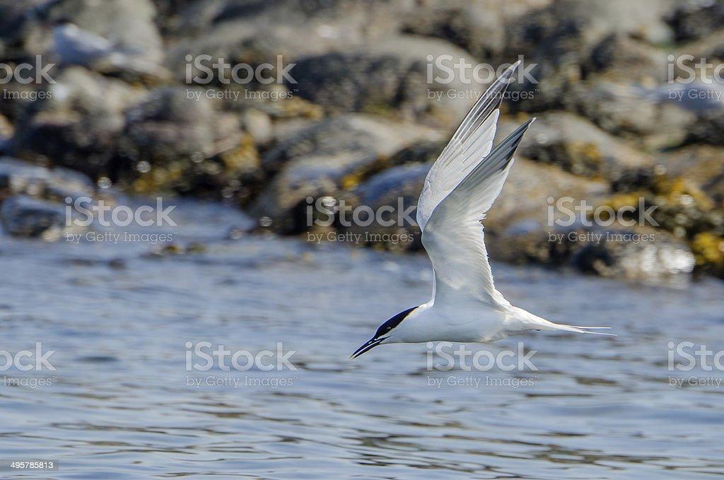 Sandwich Tern in Flight stock photo
