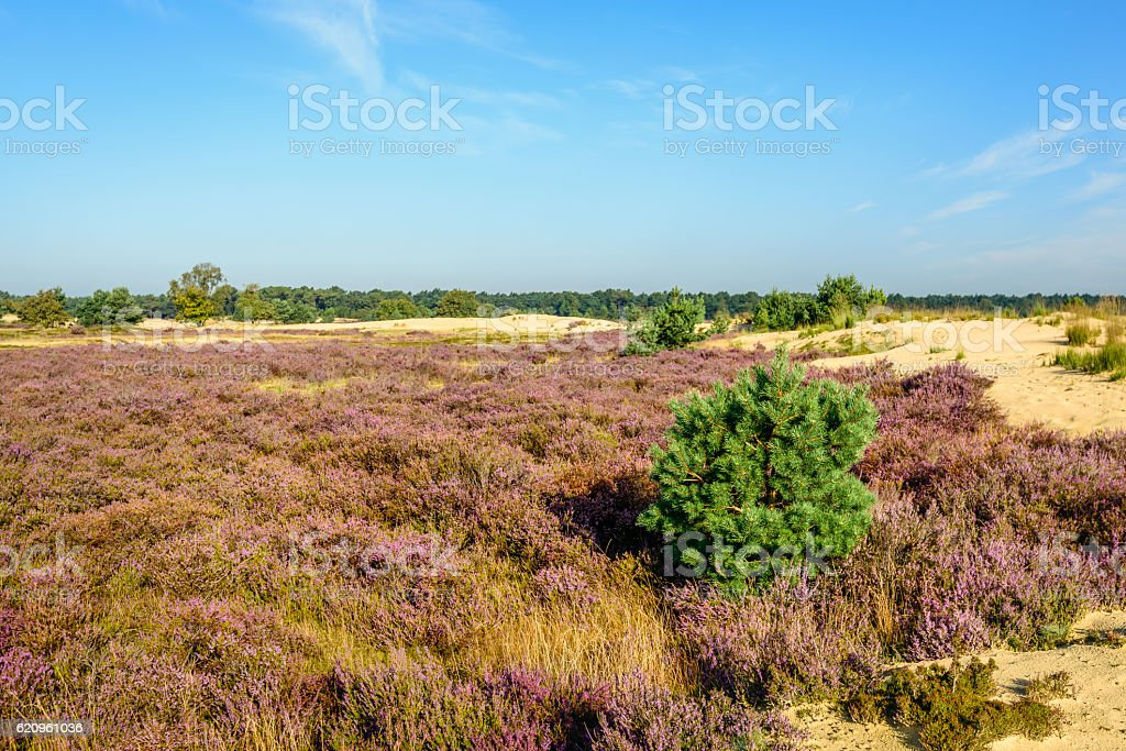 Sandy nature reserve with purple flowering heather stock photo