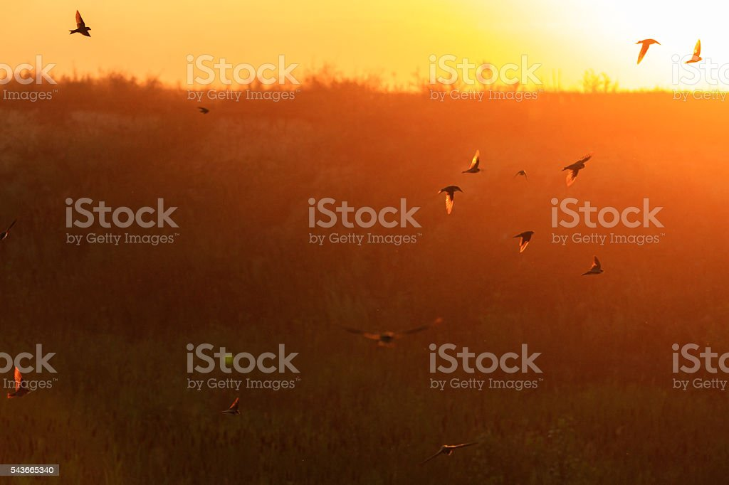 sanf martins flying on the background of sunset stock photo