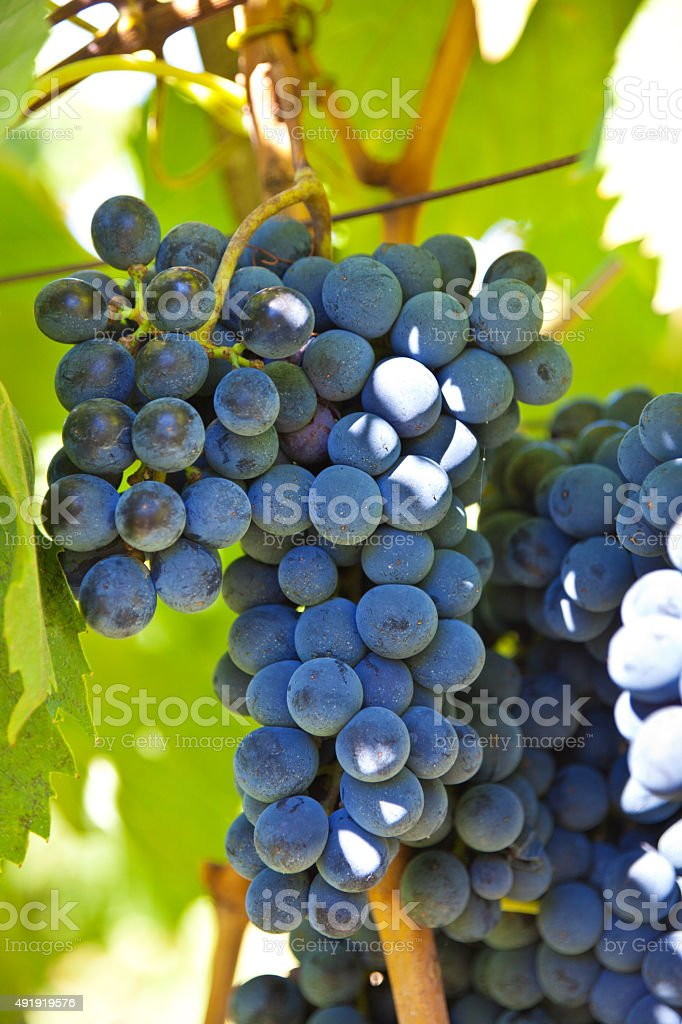 Sangiovese Grape Brunch Ripe for Making Chianti Wine stock photo