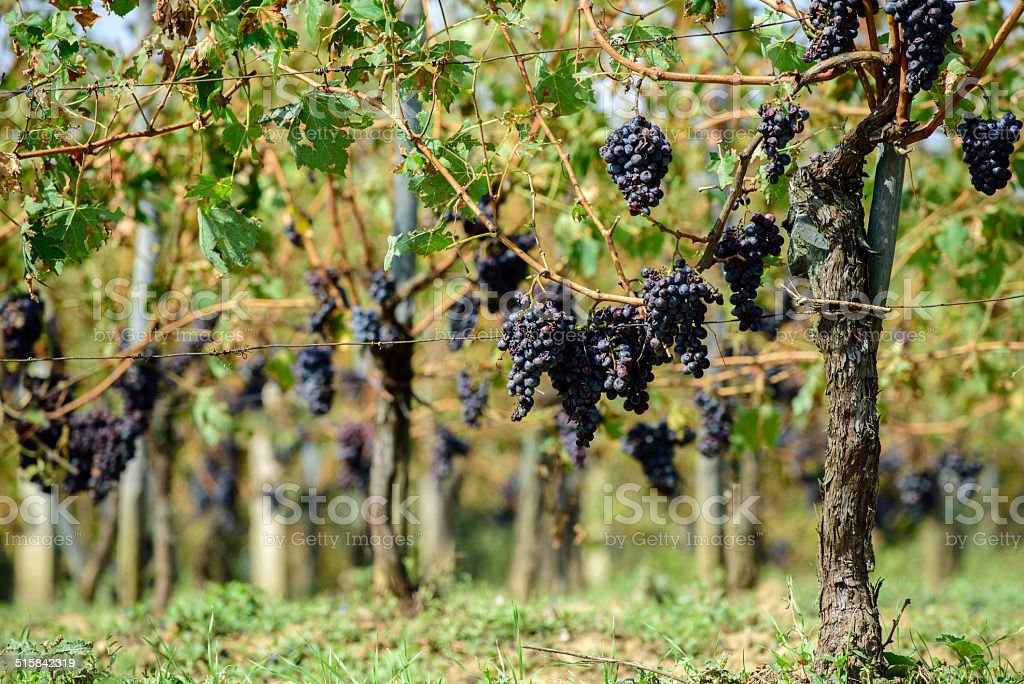 Sangiovese grapes in Montalcino, Italy stock photo